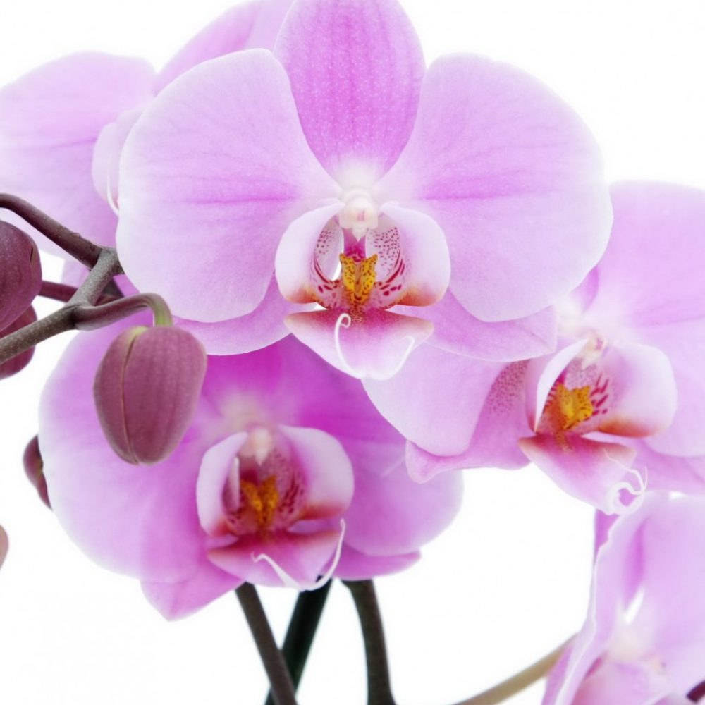 roto-for-orchids-954×1030